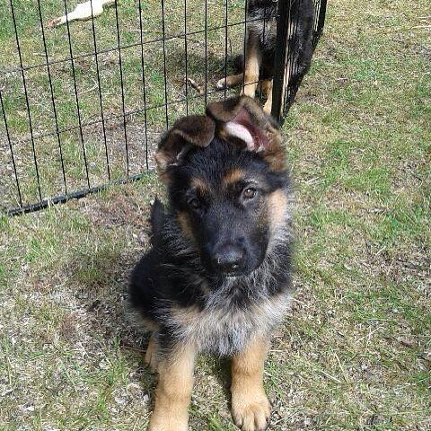 Jack junior linslus! #schäfervalp #valpar #schäfrar #puppyeyes #puppylove #puppydogs #cutedog #puppygram #sweetpuppy #germansheperd #puppylife