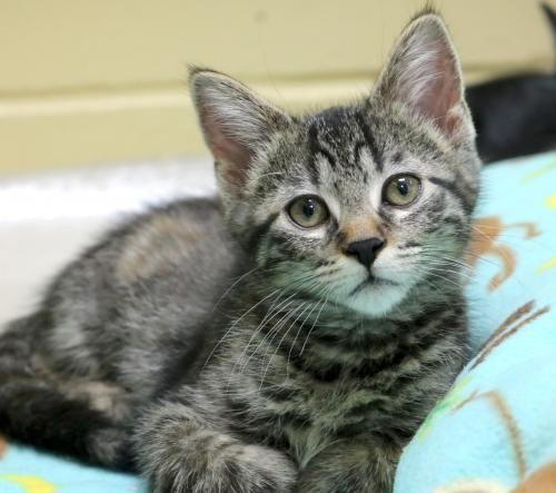 Hi I M Mae I M A 2 Month Old Spayed Female Brown Tabby Domestic Short Hair Tabby Cat Pictures Tabby Cat Saving Cat