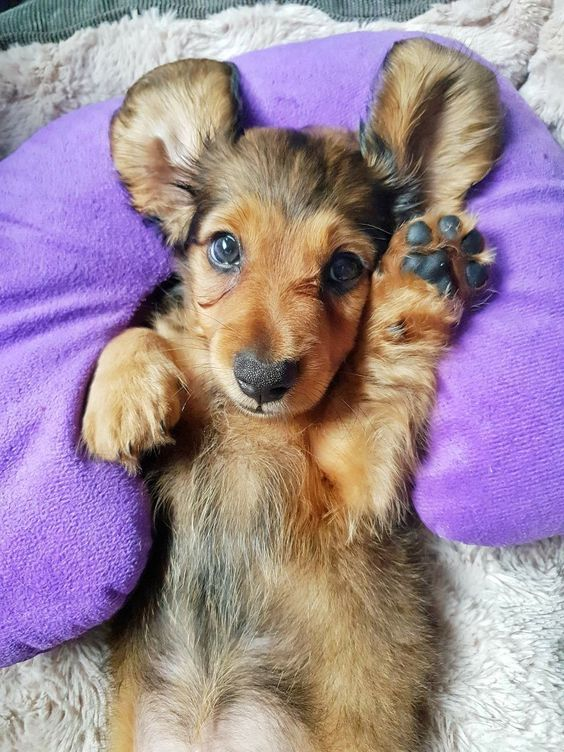 Cute Dachshund Visit Our Blog To Find The Best Products And Accessories For Hounds And Doglovers With Images Cute Baby Animals Cute Dogs Baby Animals Funny