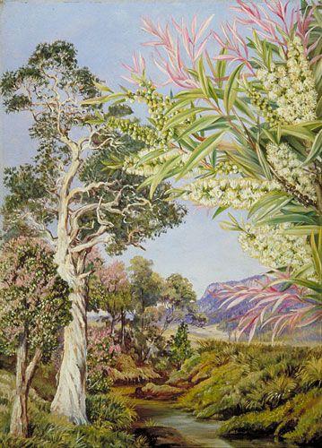Paper-bark tree, Melaleuca and Callistemon (Illawarra, New South Wales, Australia) , Marianne North