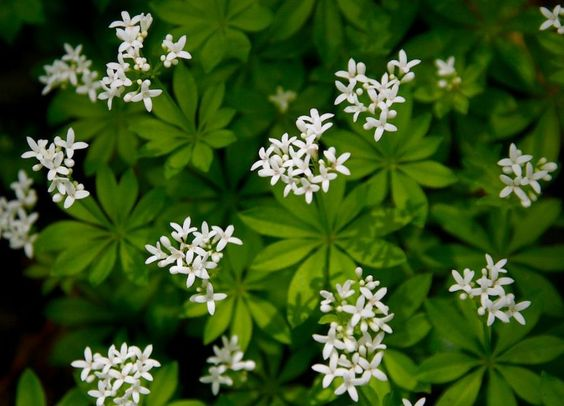 Great ground cover for that shady spot!! Sweet Woodruff (Galium odoratum) care and propagation information. For seed giveaways, daily tips and plant info, come join us on facebook! https://www.facebook.com/thegardengeeks