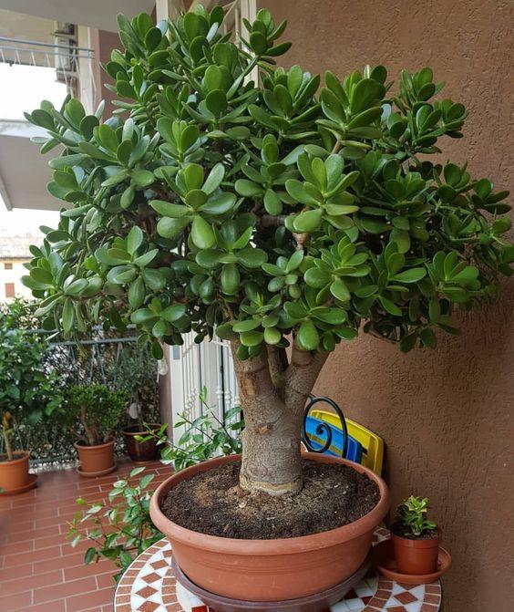 Adult Jade plant tree, crassula ovata