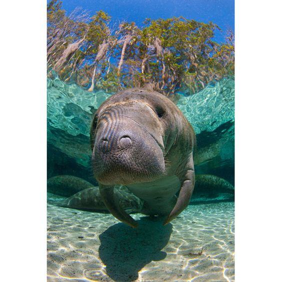 Freshwater springs attract the manatees when their normal ocean habitat becomes too cold. Crystal River, in February.#MyMagnificientObsessions
