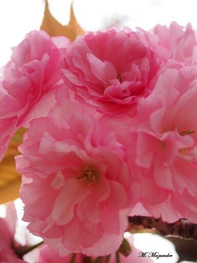 Cherry blossom/ prunus