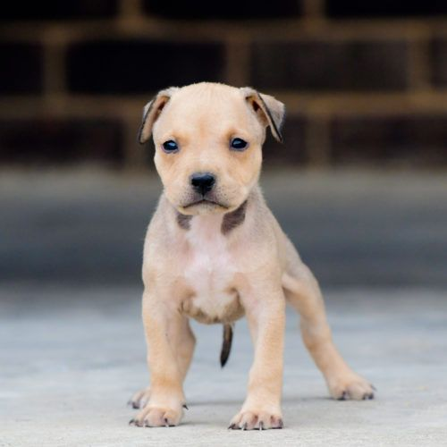 Red Nose Pitbull Puppies For Sale Pitbull Puppies For Sale