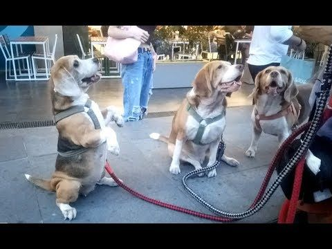 People In The Mall Love These Adorable Beagle Dogshttps Http