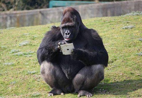 iPadを使うイケメンゴリラ