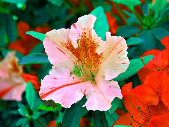 Azalea, Kentlands, Imagination IMG_6935A Photograph by Roy Kelley Roy and Dolores Kelley Photographs