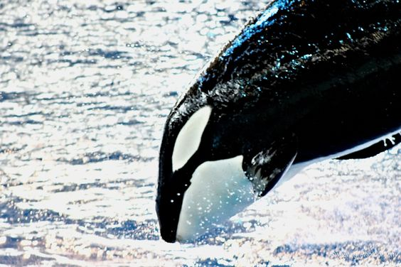 Orca Whale by Ricky Sweeting on 500px