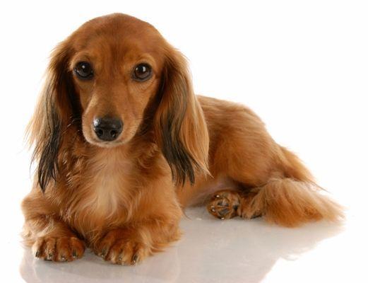 Longhair Miniature Dachshund Long Haired Miniature Dachshund