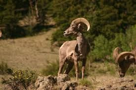 Big Horn Sheep..Castle Rock Area out towards Bassam Park in San Isabel National Forest