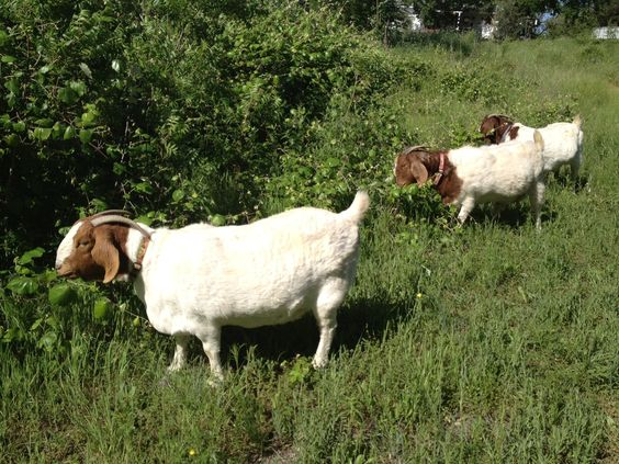 Dixie, Daisy and Dot in the valley. :0) #goats
