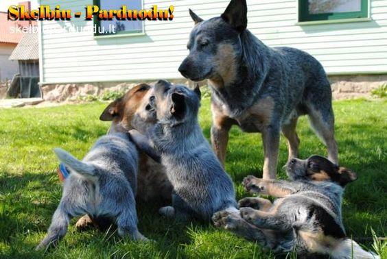 Veislynas siūlo įsigyti Australian Cattle Dog antros vados Lietovoje šuniukus. Šuniukai su kilmės dokumentais, euro pasais, bus paskiepyti pagal amžiu. Daugiau informacijos telefonu, e-mailu   Daugiau informacijos - http://www.skelbiuparduodu.lt/1334-sunys/21189-australian-cattle-dog
