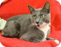 Blackwood, NJ - Domestic Shorthair. Meet Jade, a cat for adoption. http://www.adoptapet.com/pet/11250698-blackwood-new-jersey-cat