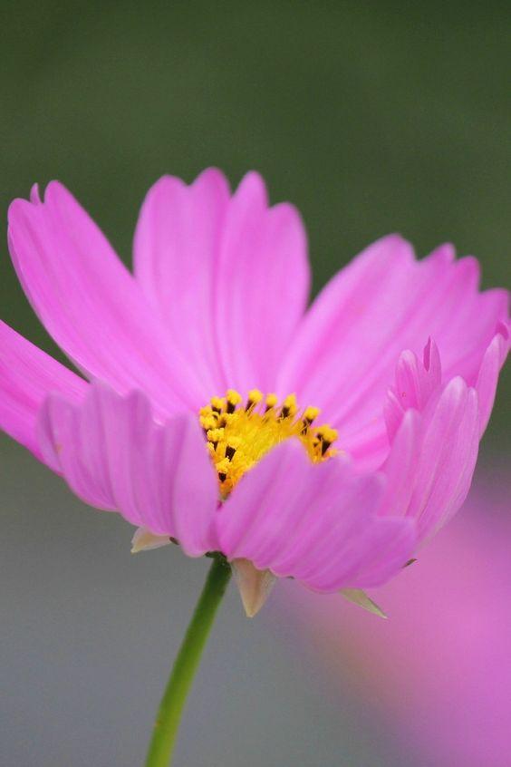 New free photo from Pexels: https://www.pexels.com/photo/pink-petaled-flower-51942/ #plant #flower #macro
