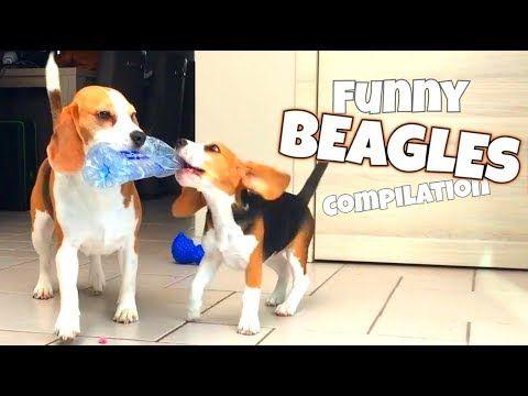 Youtube Beagle Puppy Beagle Happy Animals