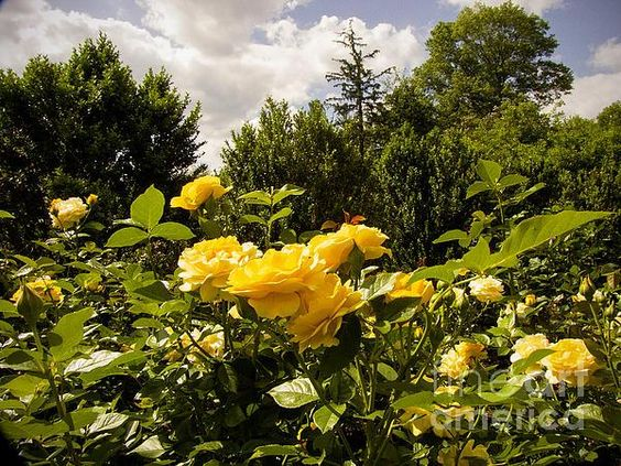 "New artwork for sale! - ""Yellow Roses"" - http://phil-welsher.artistwebsites.com/featured/yellow-roses-phil-welsher.html … @fineartamerica"