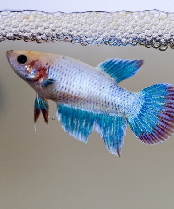 To be home and the o 39 jays on pinterest for Betta fish personality