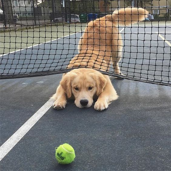 Golden Retriever Plays With A Tennis Ball Best Golden Retriever