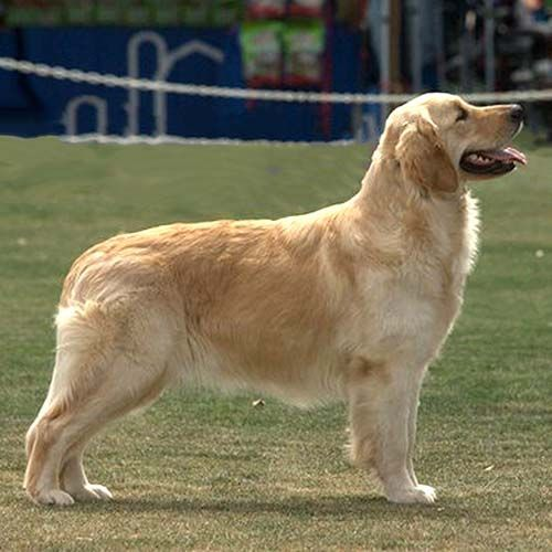 Golden Retriever Standing In A Field Doggroominggoldenretriever
