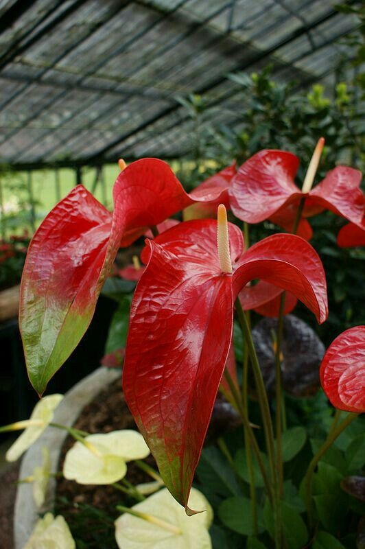 Pin By Mona Moni On Anthurium Anthurium Flower Anthurium Arrangement Anthurium