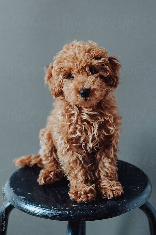 Cute Poodle Pup Do You Love Cute Dogs Like This Follow Our