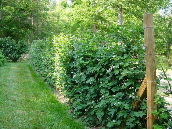 Natchez Thornless Blackberry - Google Search | out of ...