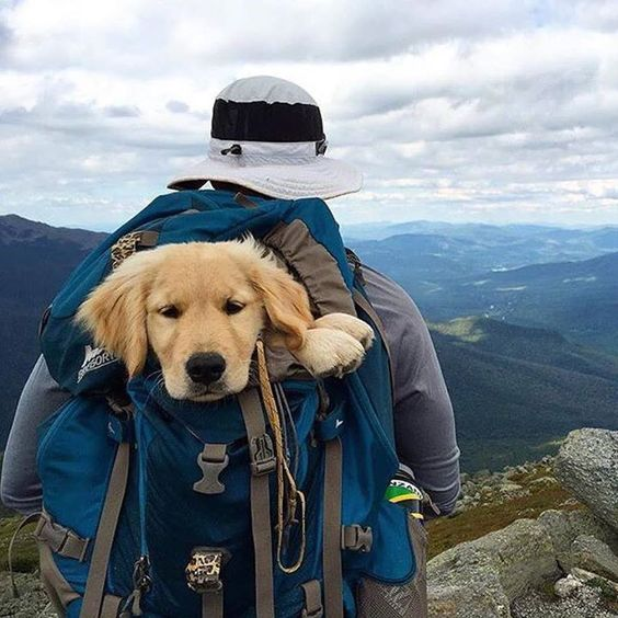 Travel Companion Of The Day Golden Retriever Puppy In A Backpack