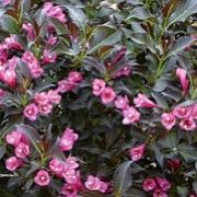 Weigela 'Ruby Queen' (Weigela 'Ruby Queen' ) Click image to learn more, add to your lists and get care advice reminders  each month.