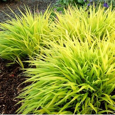 All gold japanese forest grass low growing plant that for Low growing plants for landscaping