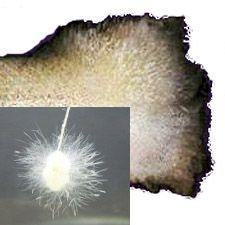 Saprolegnia | Treatment & Prevention  http://www.americanaquariumproducts.com/Columnaris.html