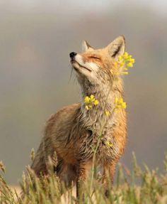 sweet red fox