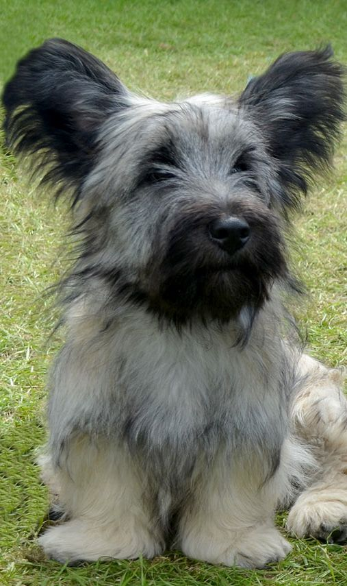 Skye Terrier....gorgeous...: