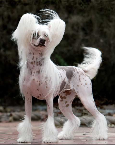 Chinese-Crested_52469dd818c88.jpg