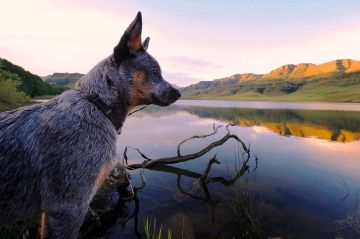 10 Best Dog Breeds for Outdoor Junkies - 1. Australian Cattledog