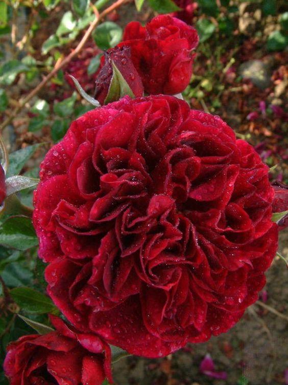 david roses online