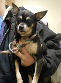 TO BE DESTROYED - 11/24/13 Manhattan Center -P  My name is INDIE. My Animal ID # is A0985384. I am a neutered male black and tan chihuahua sh mix. The shelter thinks I am about 12 YEARS old.  I came in the shelter as a STRAY on 11/19/2013 from NY 10029, owner surrender reason stated was STRAY. https://www.facebook.com/photo.php?fbid=710731452273070&set=a.611290788883804.1073741851.152876678058553&type=3&theater