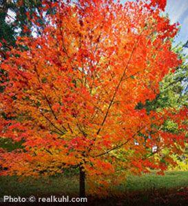 Sugar Maple trees