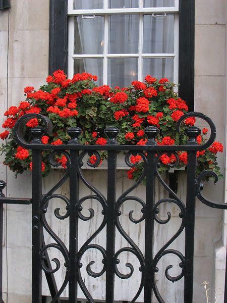 Geraniums and wrought iron