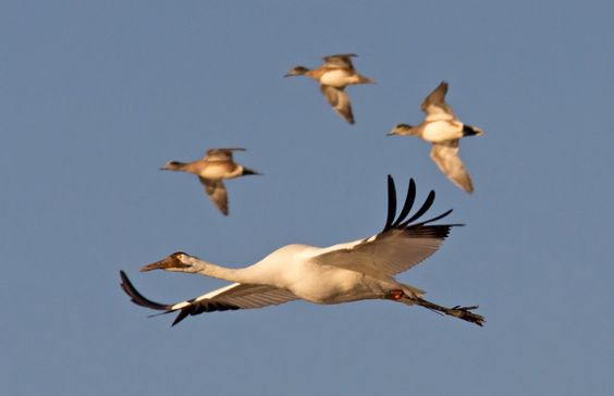 Endangered whooping cranes in their winter home at the Wheeler National Wildlife Refuge in Decatur, Ala.