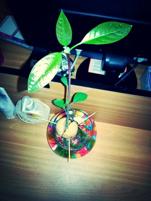 Avocado seed with a beta fish