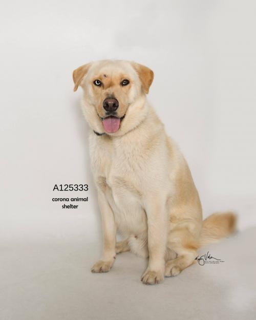 This Cutie Needs A Home Golden Retriever Labrador Retriever
