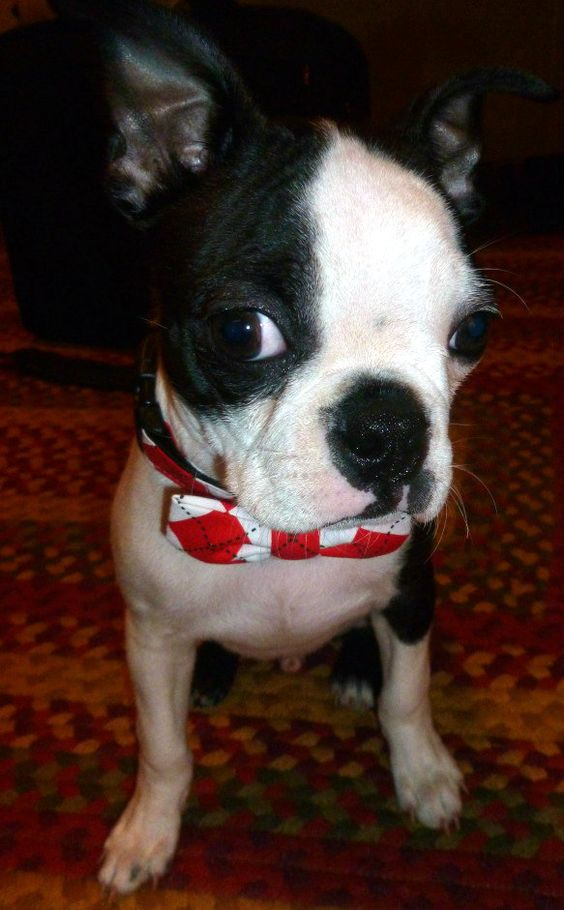 Wearing his bow tie collar from Etsy!