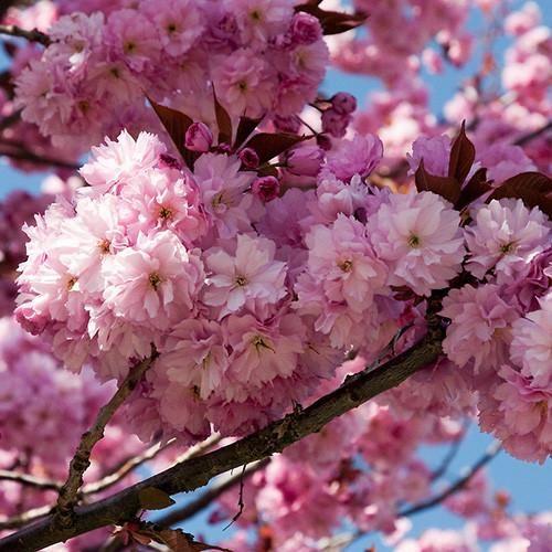 Kwanzan Cherry Tree Flowering Cherry Tree Kwanzan Cherry Cherry Tree