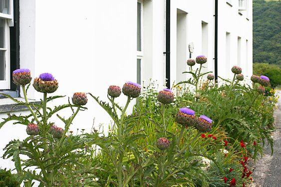 Globe Artichoke border, perennial, full sun, drought tolerant. Yummy and punk rock flowers! From: Growing Artichoke - Bonnie Plants