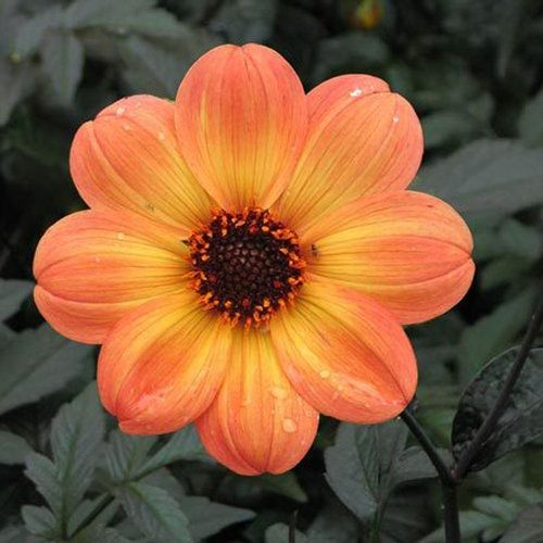 'Mystic Haze' - Dahlia-attracts butterflies-annual