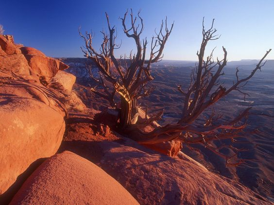 Juniper Tree Canyonlands National Park Utah us