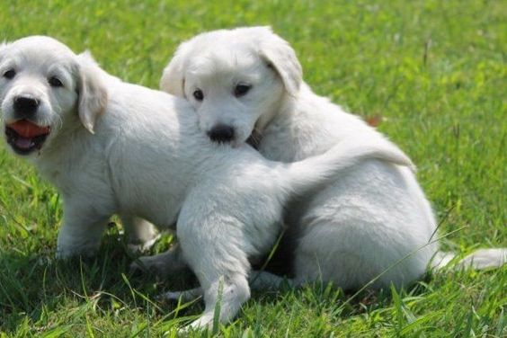 Okie Kang Has Golden Retriever Puppies For Sale In Social Circle