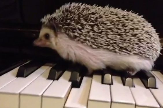 This Vine Proves That Hedgehogs Are Musical Geniuses; this hedgehog plays the piano better than I do.:
