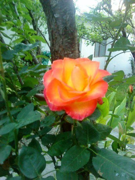 Rosa en el jardín de mi Abue! :')